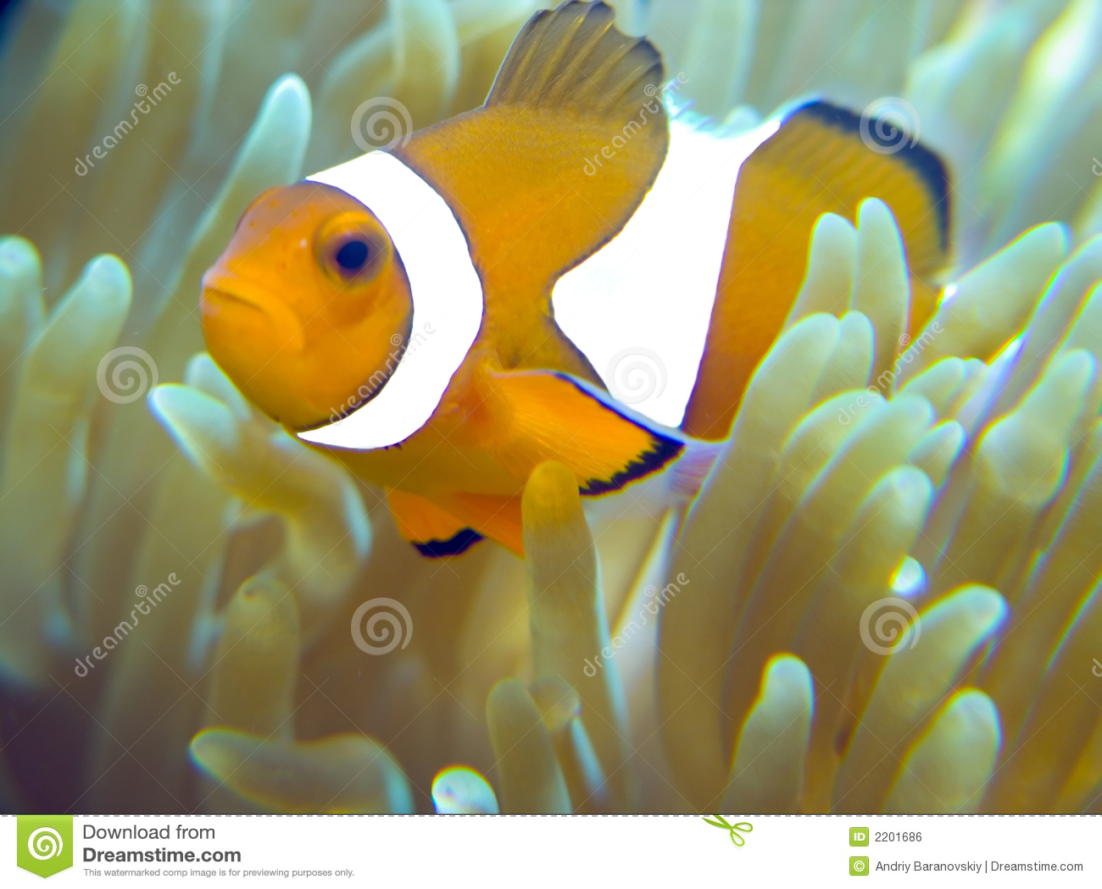 Nemo fish home stock photo image of host fish nemo for Nemo fish pictures
