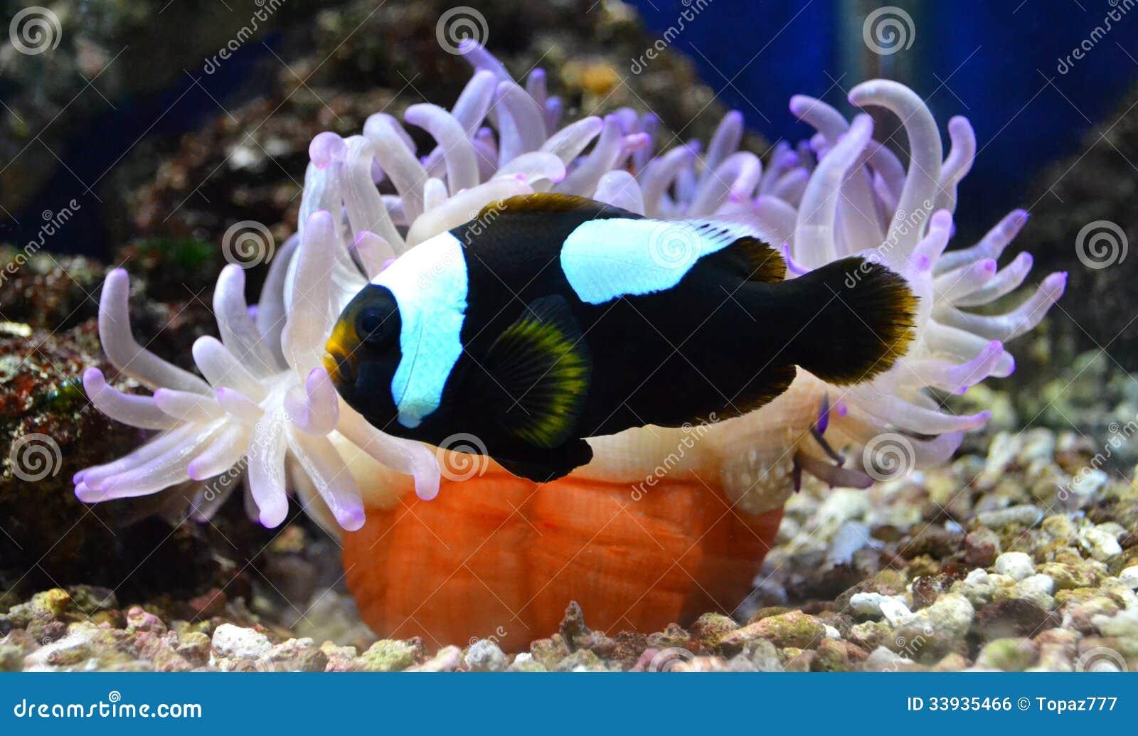 Nemo fish and sea anemone stock photo image of animal - Aquarium nemo ...