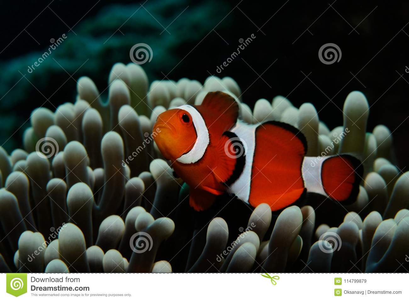 Nemo in grey anemone stock image. Image of clownfish - 114799879