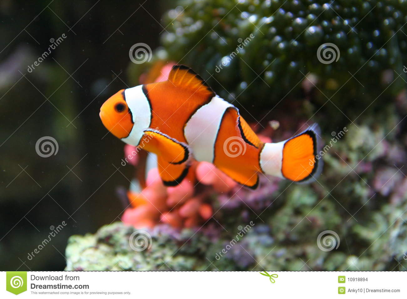 Nemo like clown fish stock images image 10918894 for Clown fish nemo