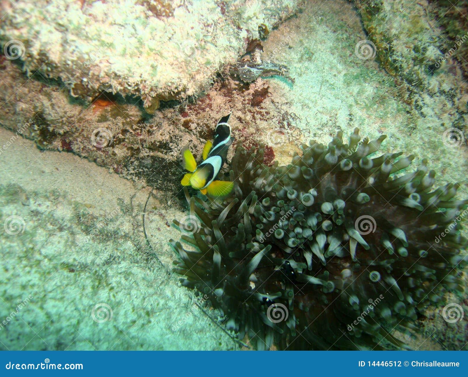 Nemo s кузена