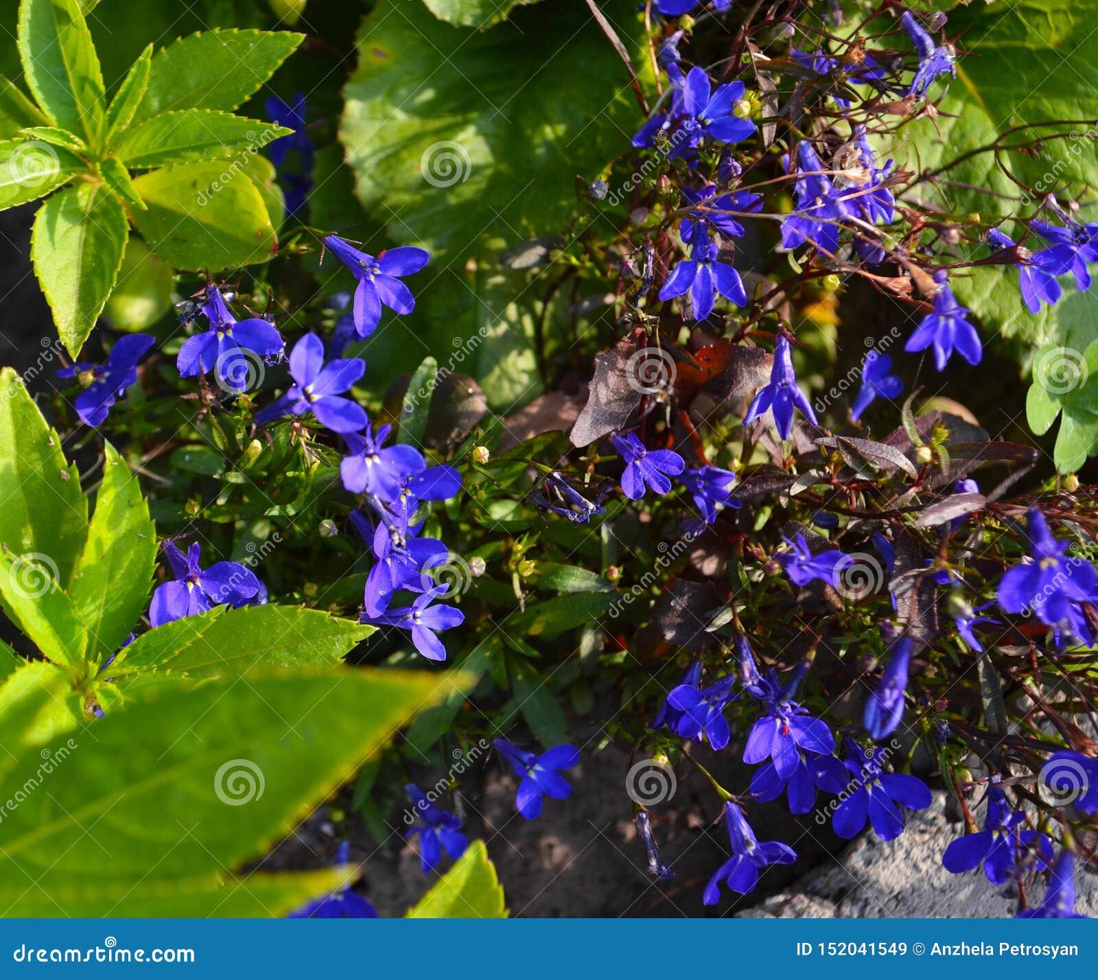 Nemophila spring flower