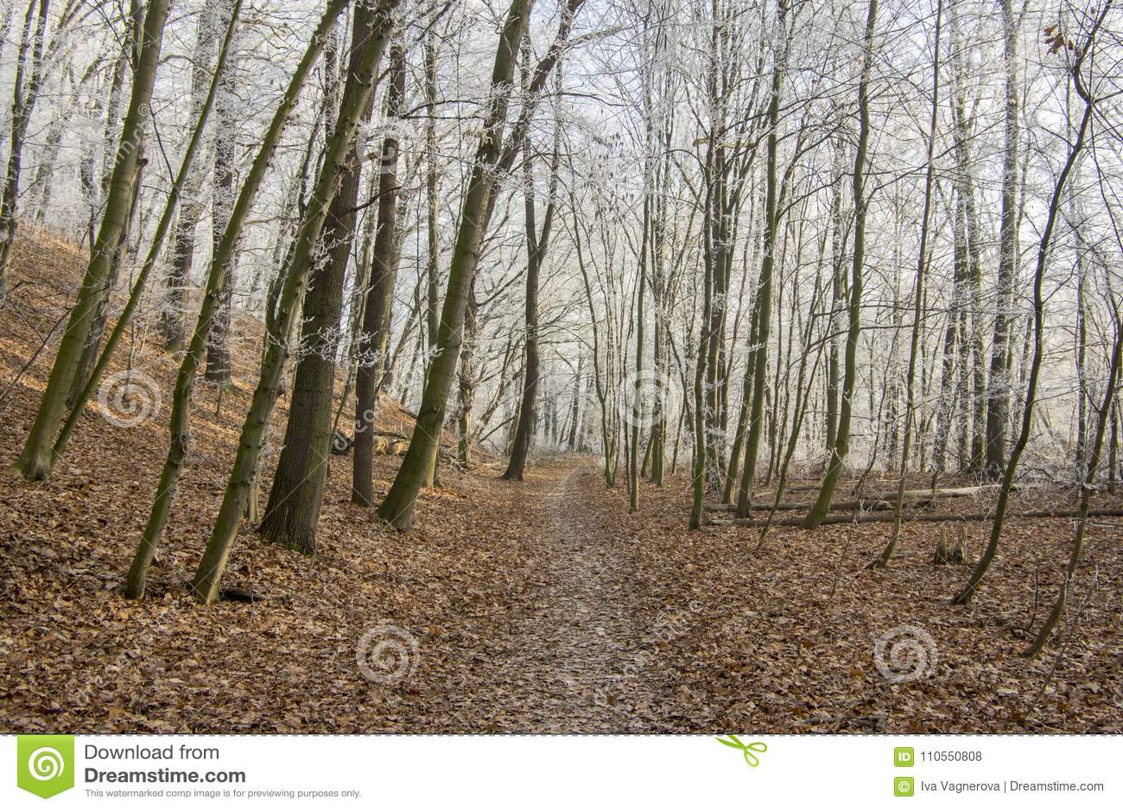 Nemosicka stran, hornbeam forest - interesting magic nature place in winter temperatures, frozen tree branches