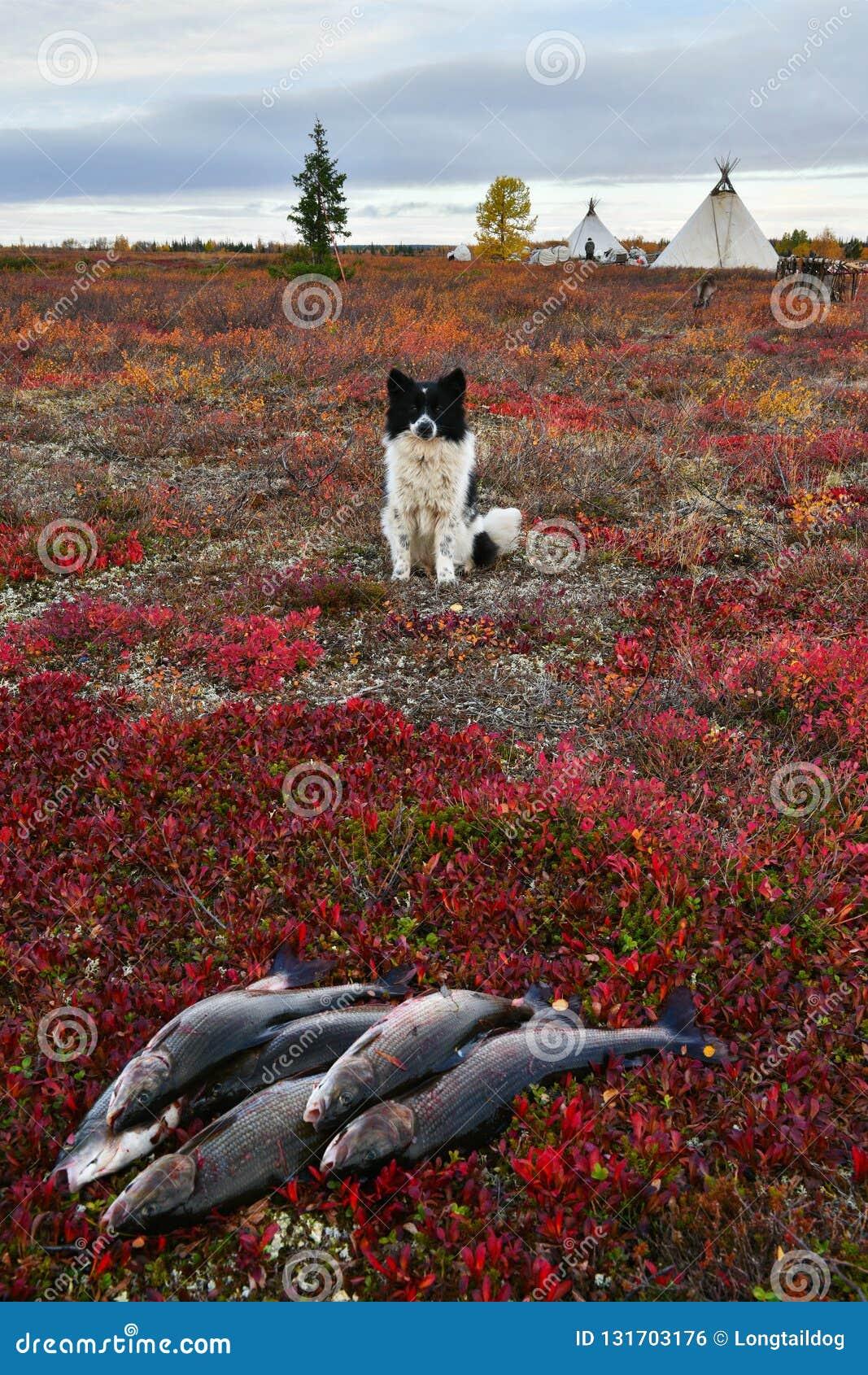 Nenets laika rests nearby fresh catch of grayling, Polar Circle of Russia, Yamal Peninsula