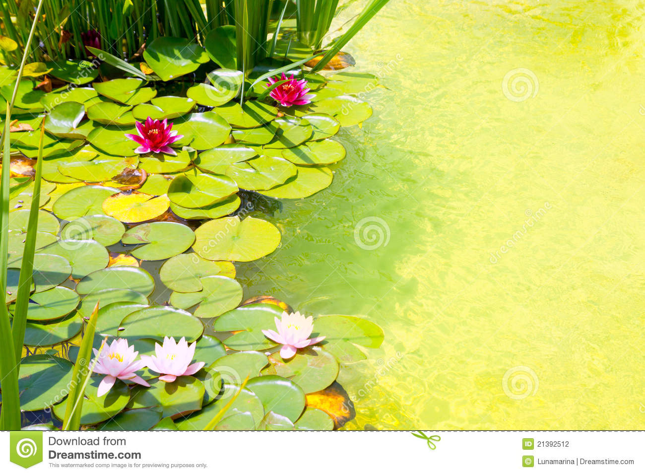 Nenufar water lilies on green water pond stock photography for Green water in pond