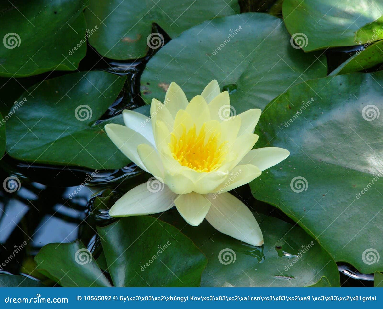 Nenuphar Stock Photo Image Of Leaf Petal Water Nenuphar 10565092