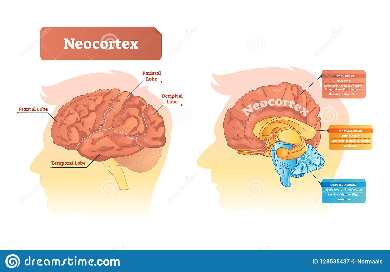Neocortex Vector Illustration Labeled Diagram With Location
