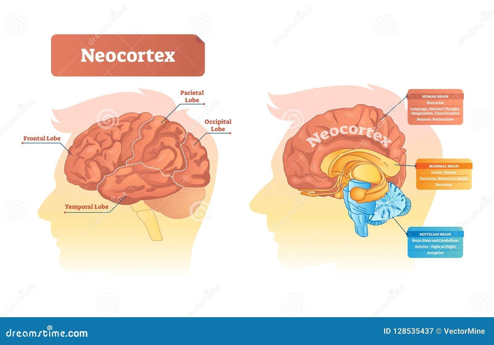 Neocortex vectorillustratie Geëtiketteerd diagram met plaats en functies