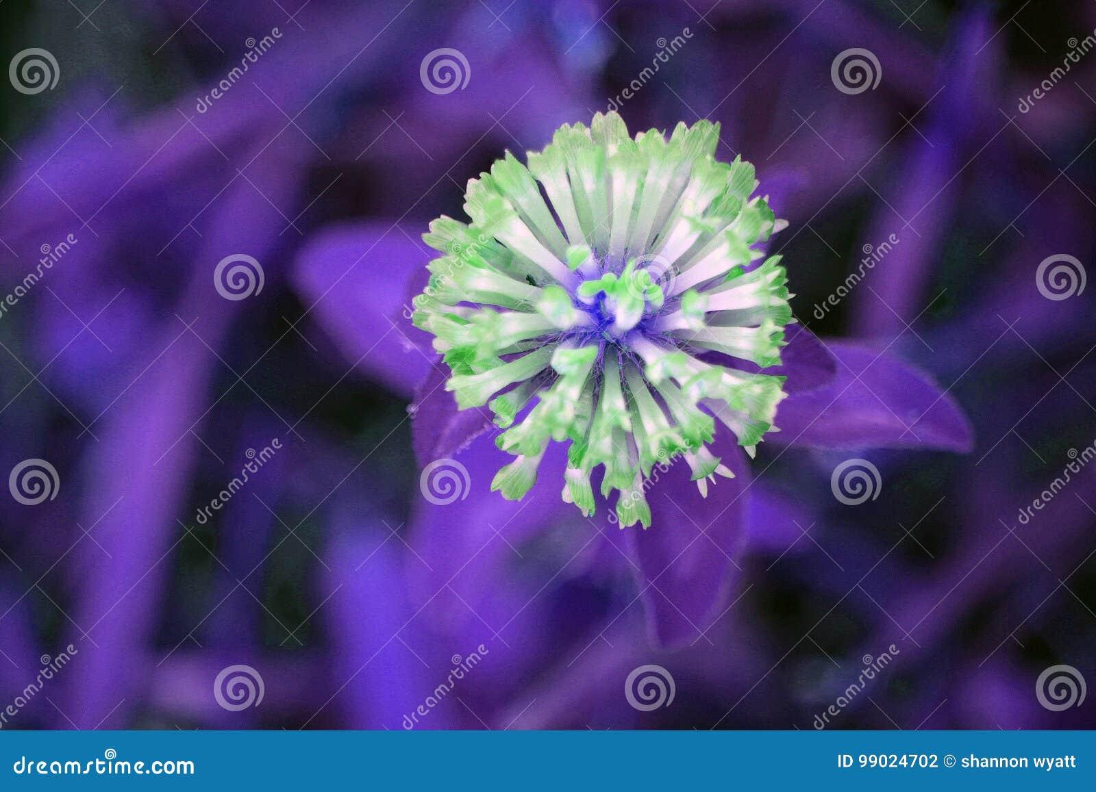 Neon Crown Vetch Stock Photo Image Of Neon Purple Petals 99024702
