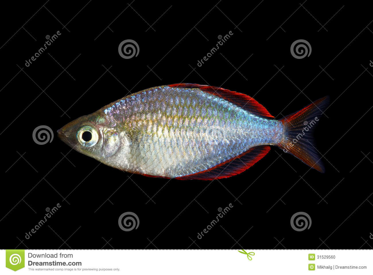 Neon Dwarf Rainbowfish Stock Photo - Image: 31529560