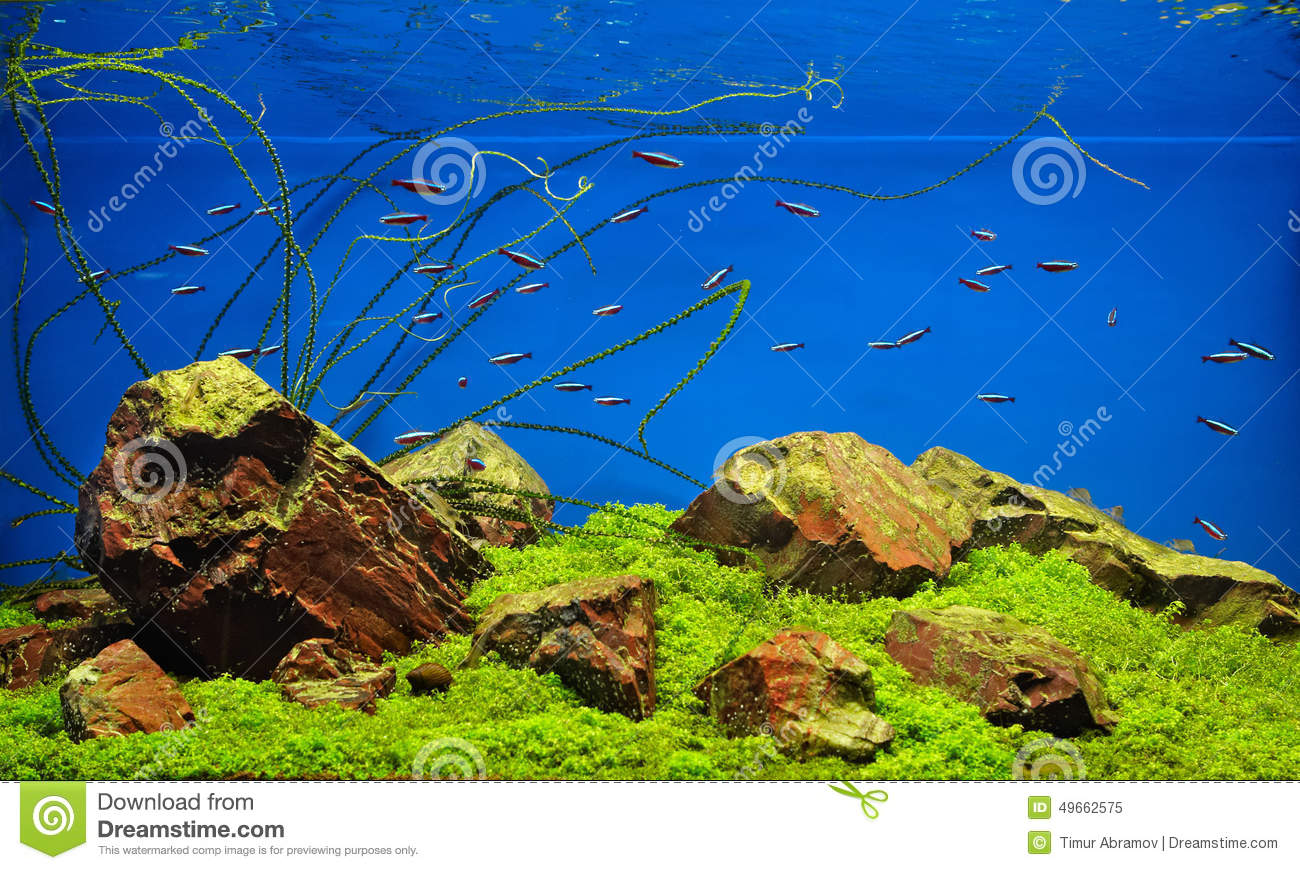Neon fishes in freshwater aquarium stock image image for Neon aquarium