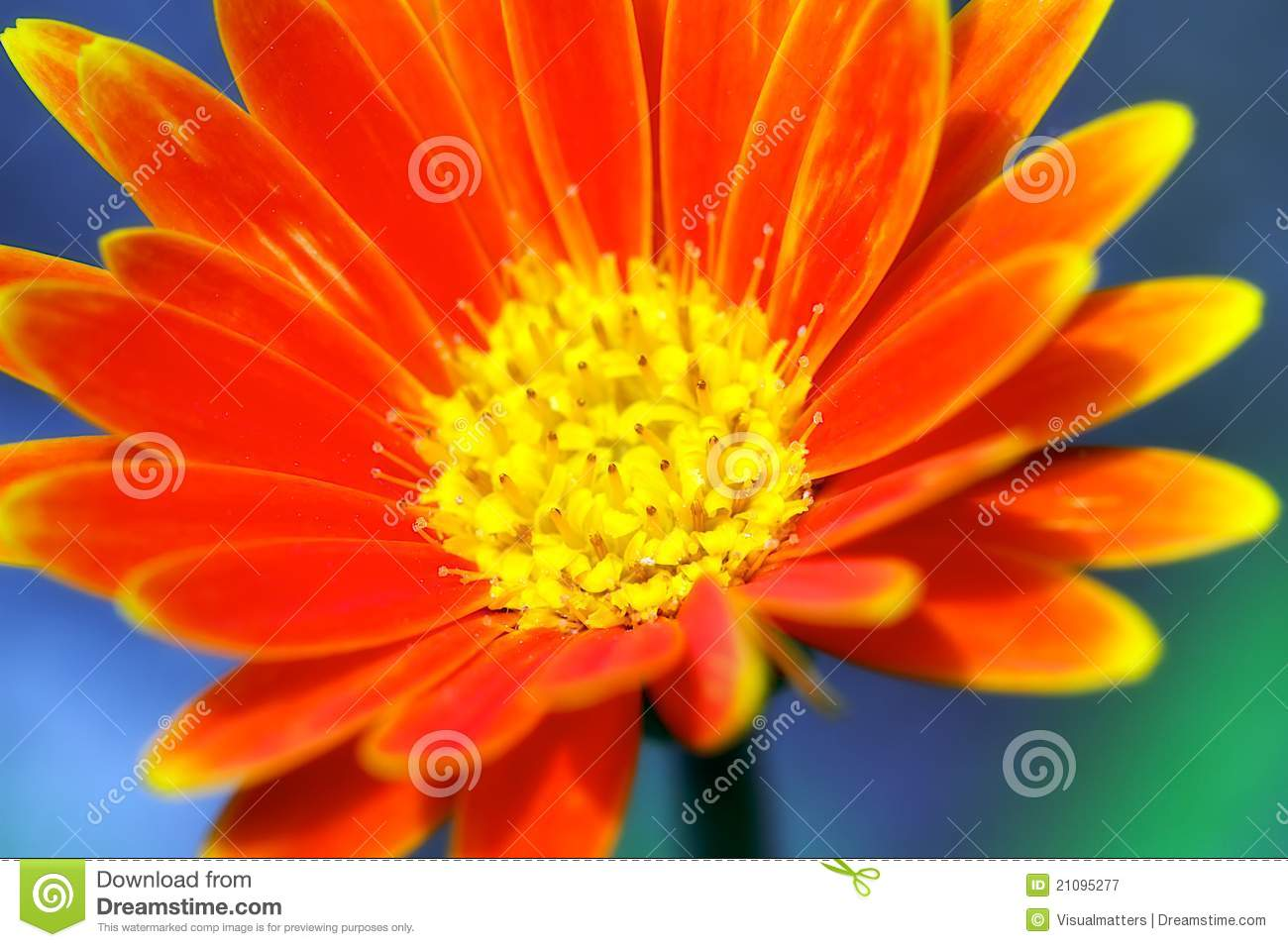 Neon orange flower stock image image of colour delicate 21095277 neon orange flower mightylinksfo