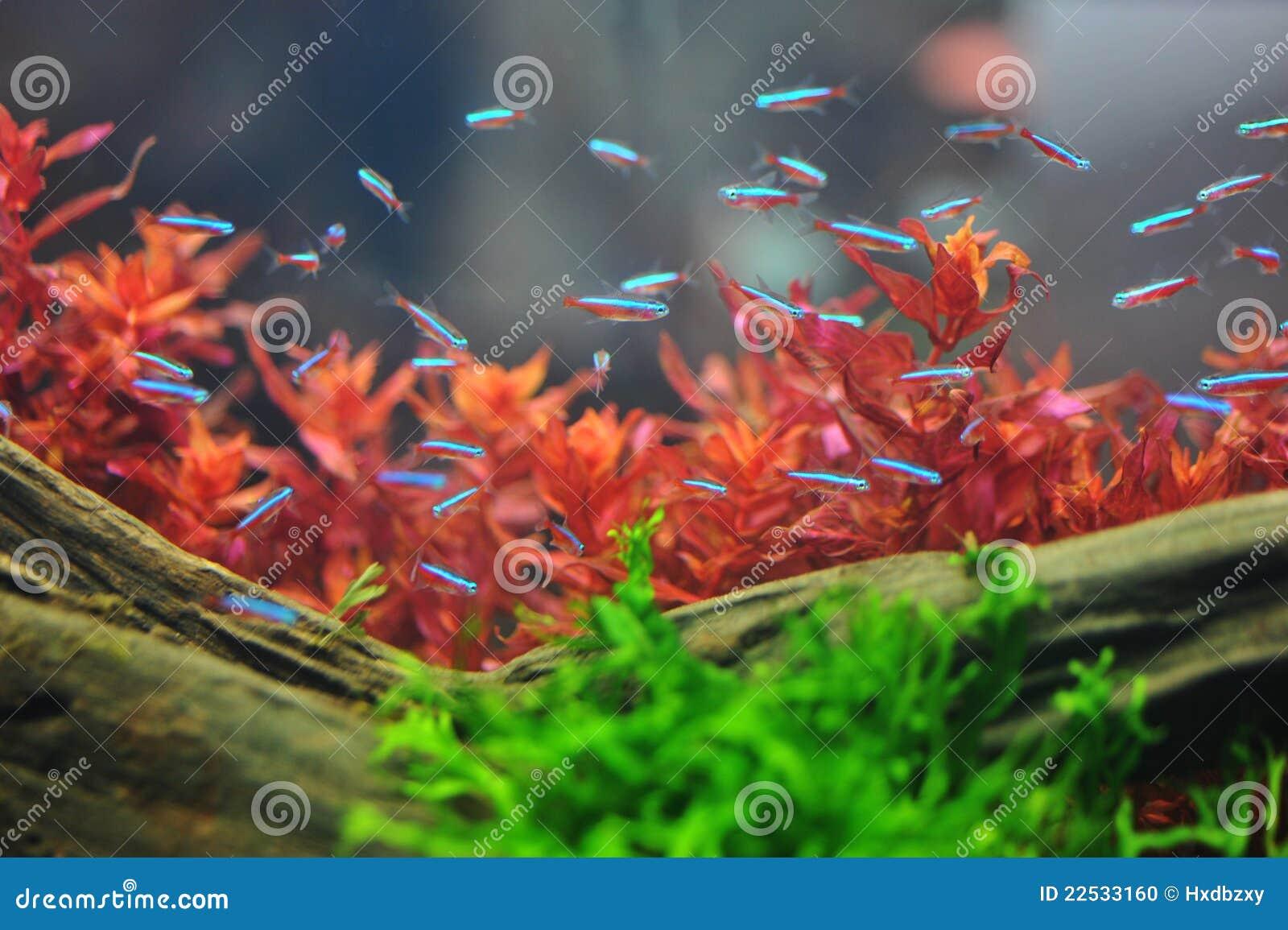 Neon Tetra Fish Stock Images - 474 Photos