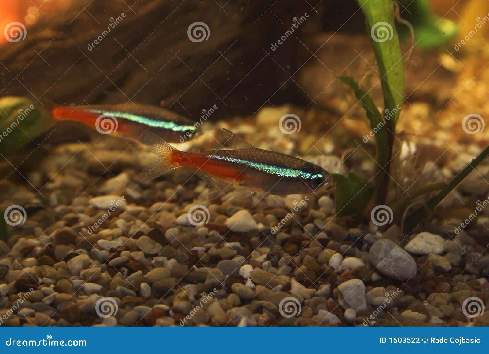 Neon Tetra In Aquarium Stock Photo Image Of Underwater 1503522