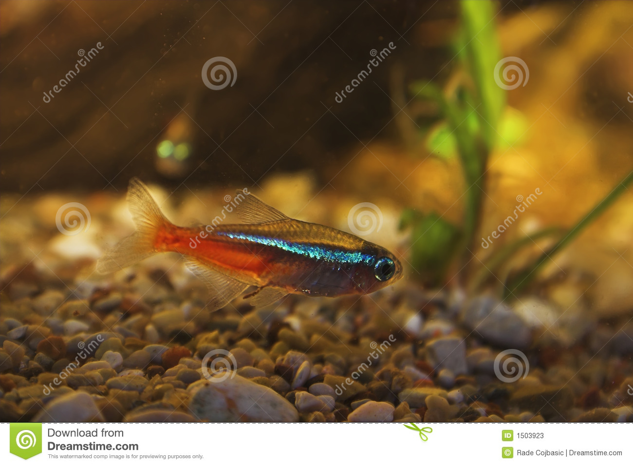 Neon tetra in aquarium stock photos image 1503923 for Neon fish tank