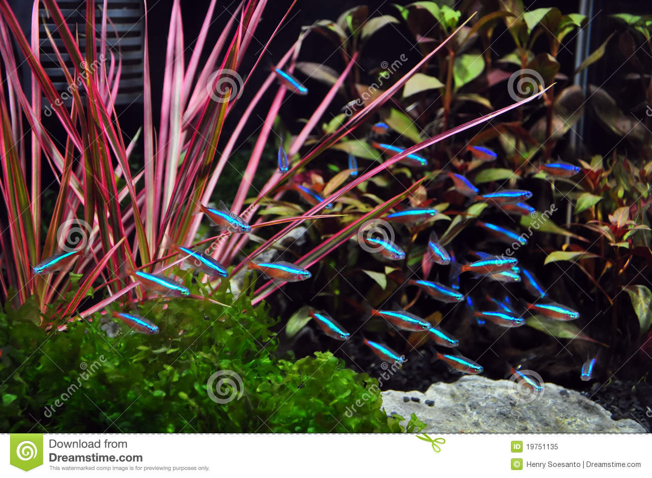 Neon tetra in aquarium stock image image of water for Neon fish tank