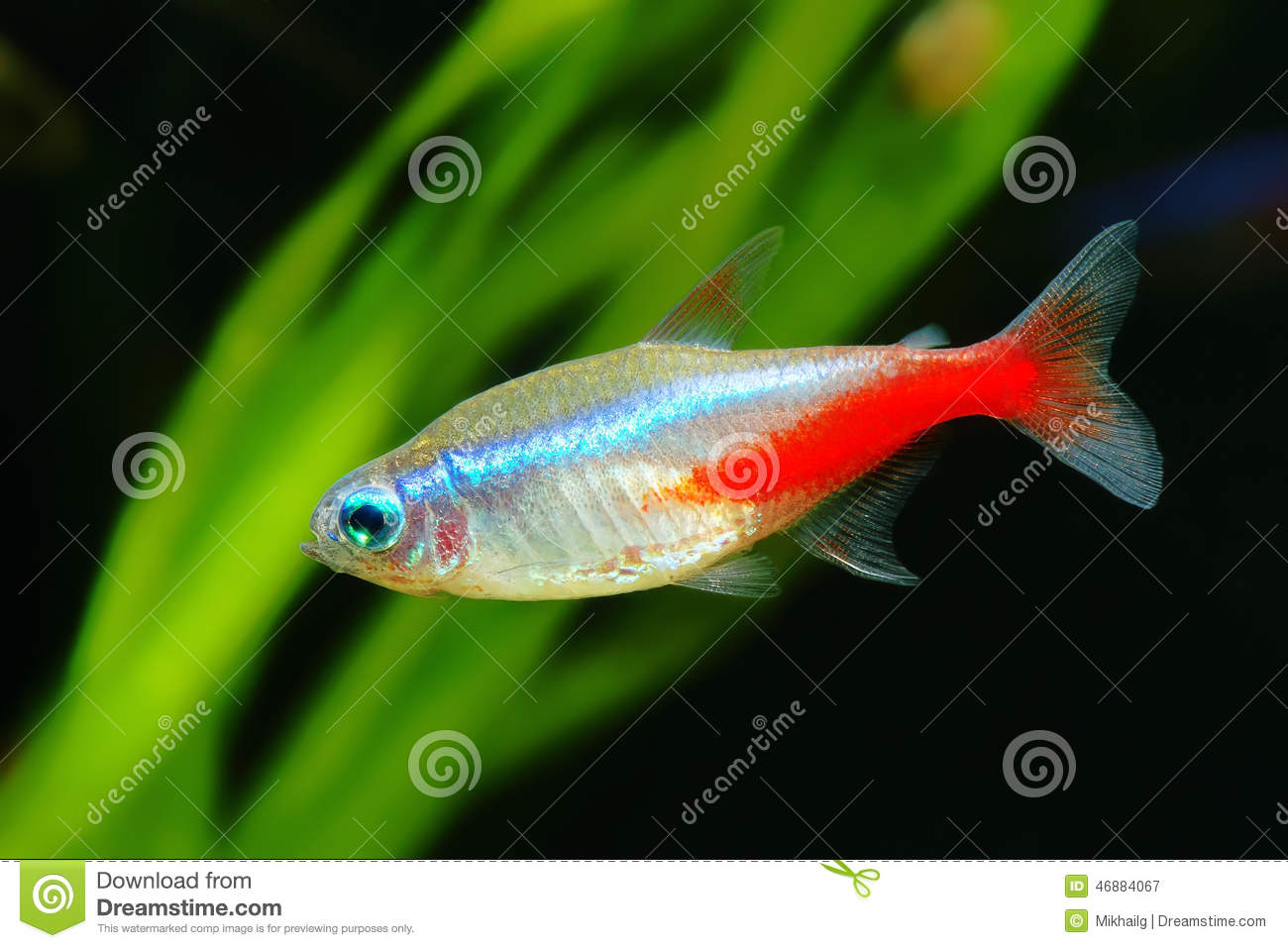 Neon tetra stock photo image 46884067 for Neon freshwater fish