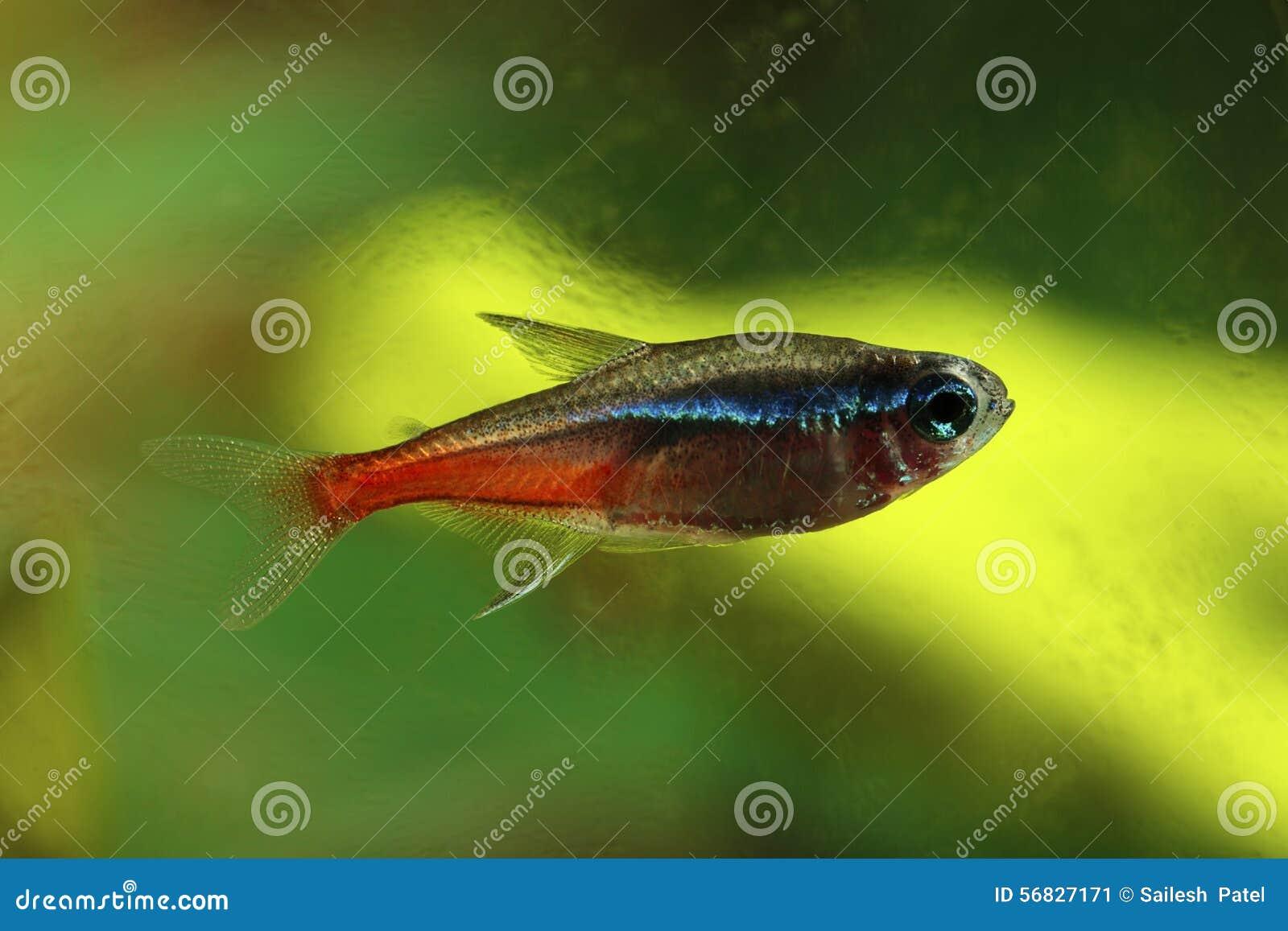 Neon Tetra stock image. Image of characidae, fish, animal - 56827171