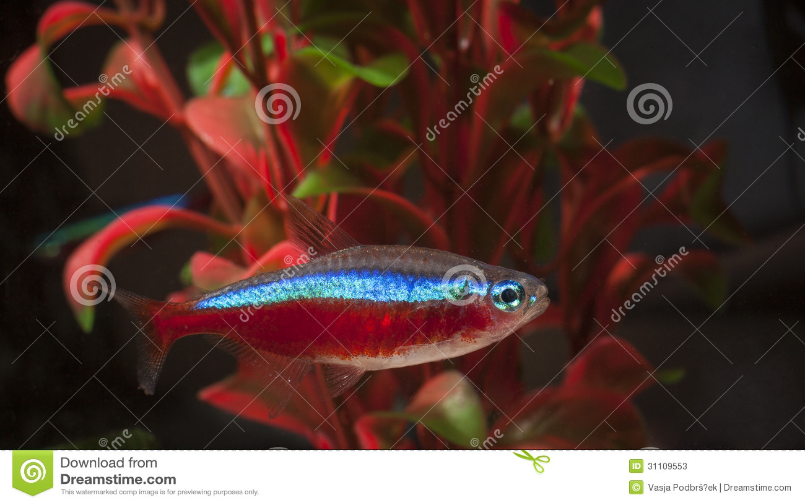 Neon tetra fish stock image. Image of close, small, hobby - 31109553