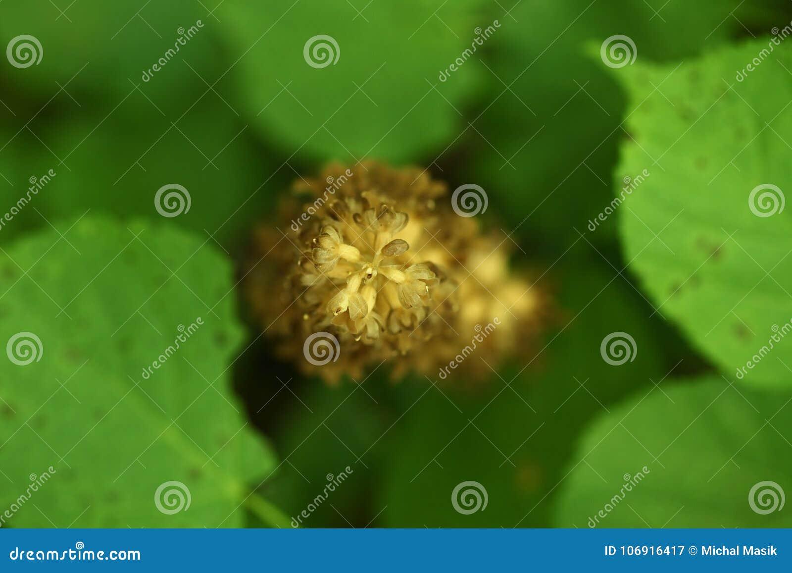 Neottia nidus Ja jest rozlewny w Europa, Kaukaz, Syberia i afryce pólnocnej, Azja nieletni,