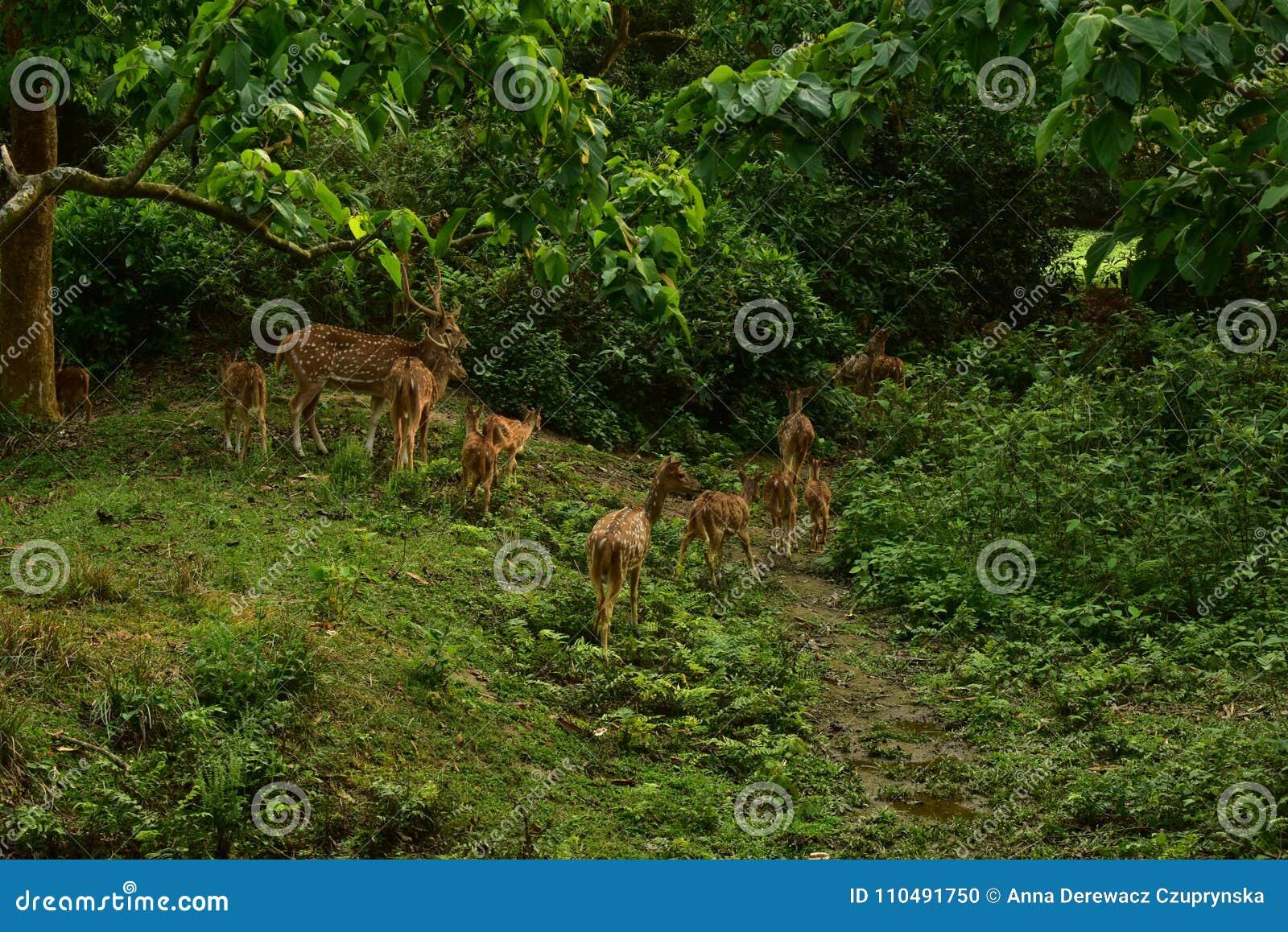 Nepal, het Nationale Park van Chitwan Kudde van Herten