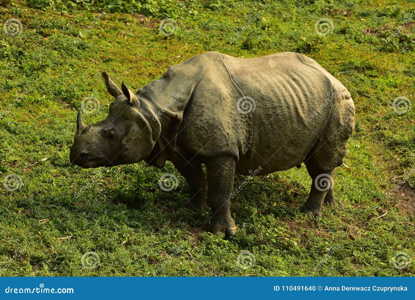 Nepal, parque nacional de Chitwan Rhinio