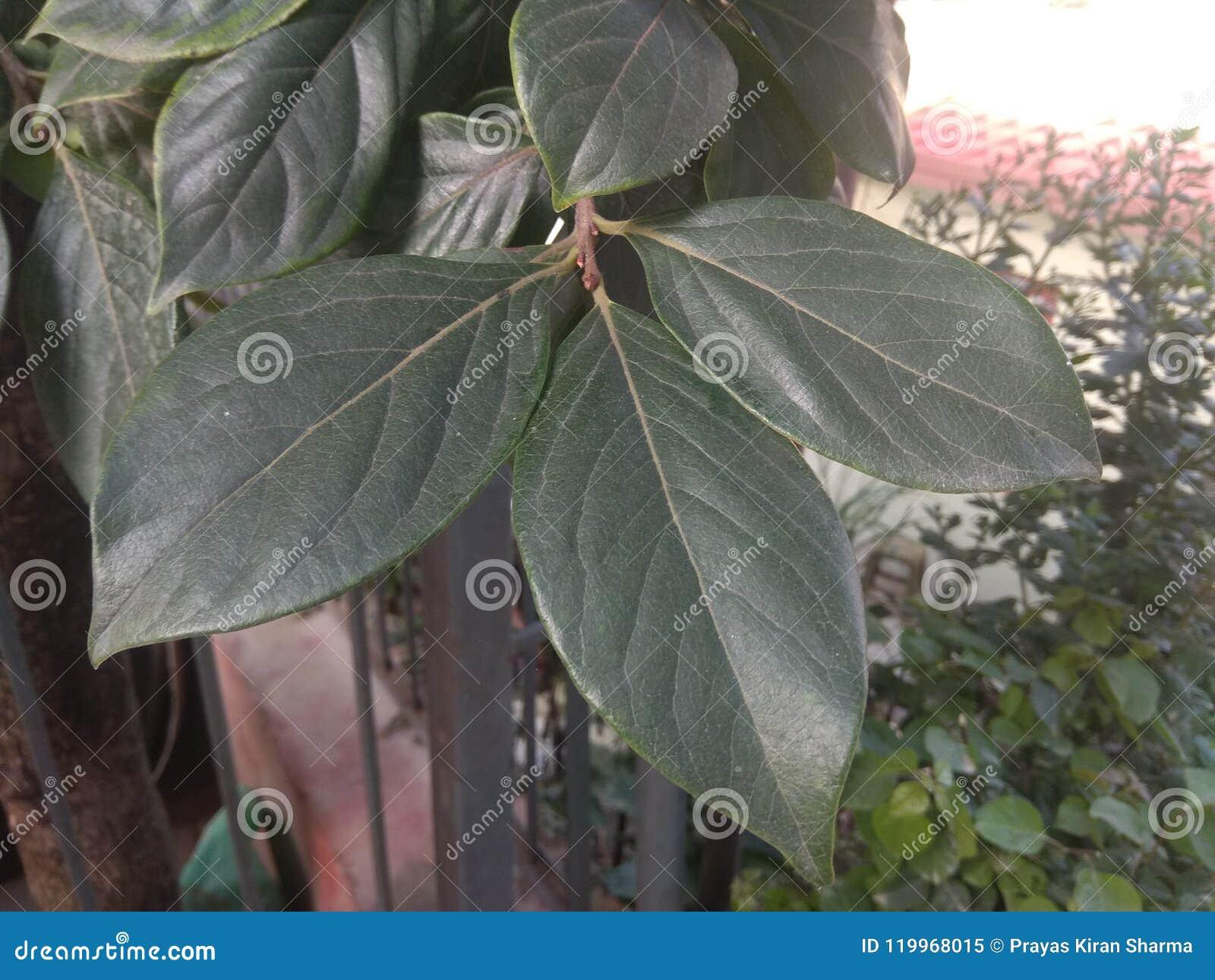 Nepalese Plum Leaf is a species of flowering plant