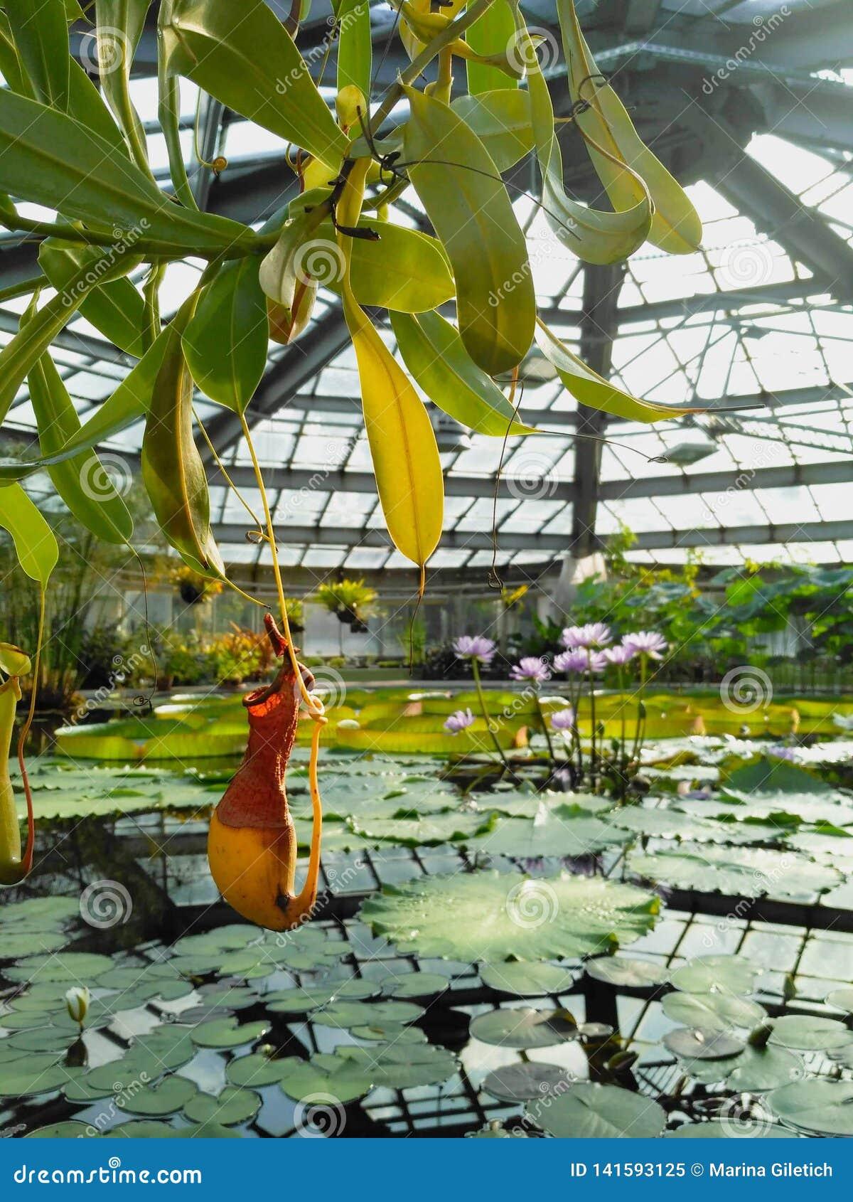 Nepenthes, Lotos und Seerose in einem Teich des Wassergewächshauses