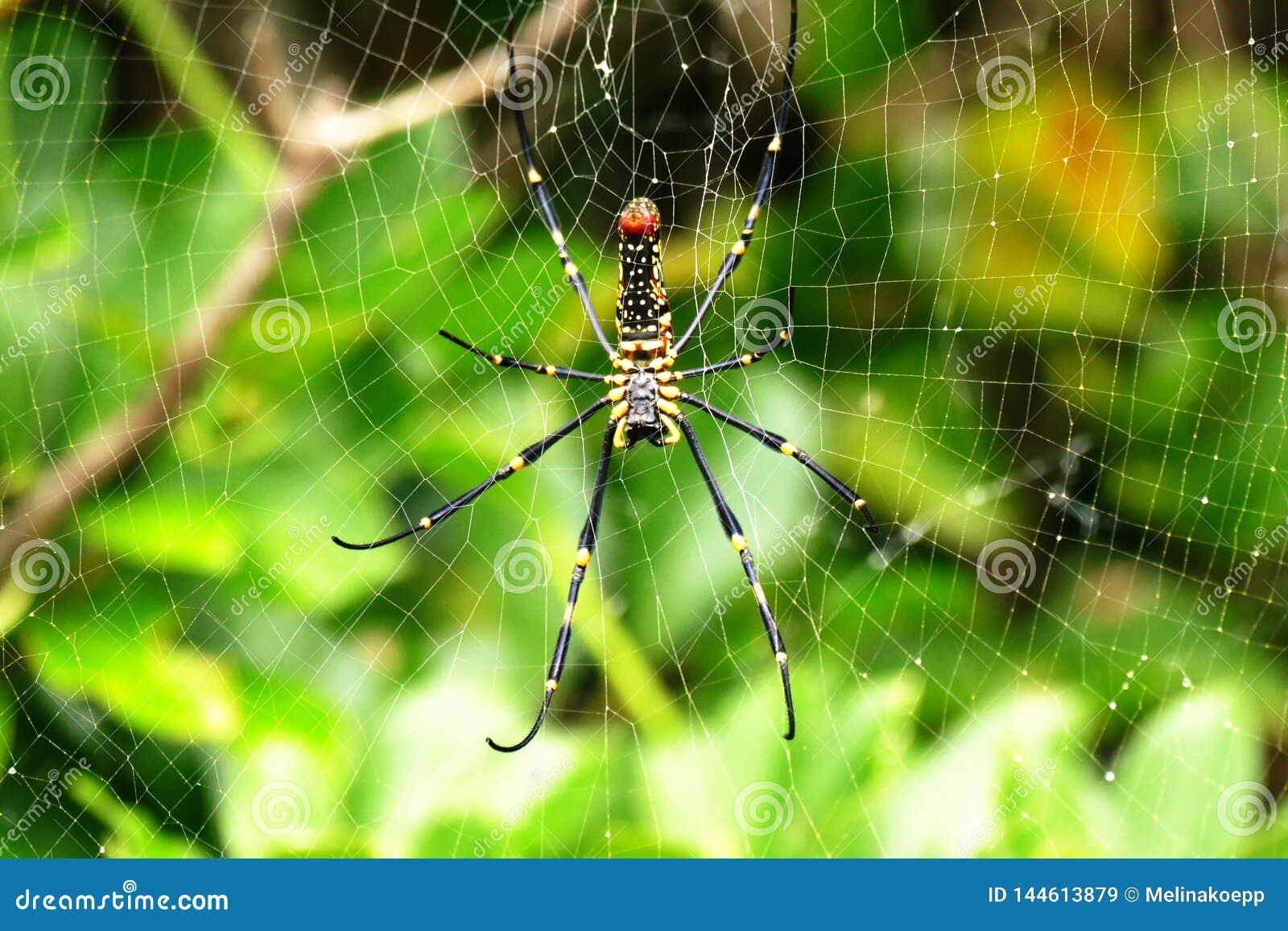 Nephila pilipes pająk w swój sieci na tropikalnej wyspie Zamami, Okinawa