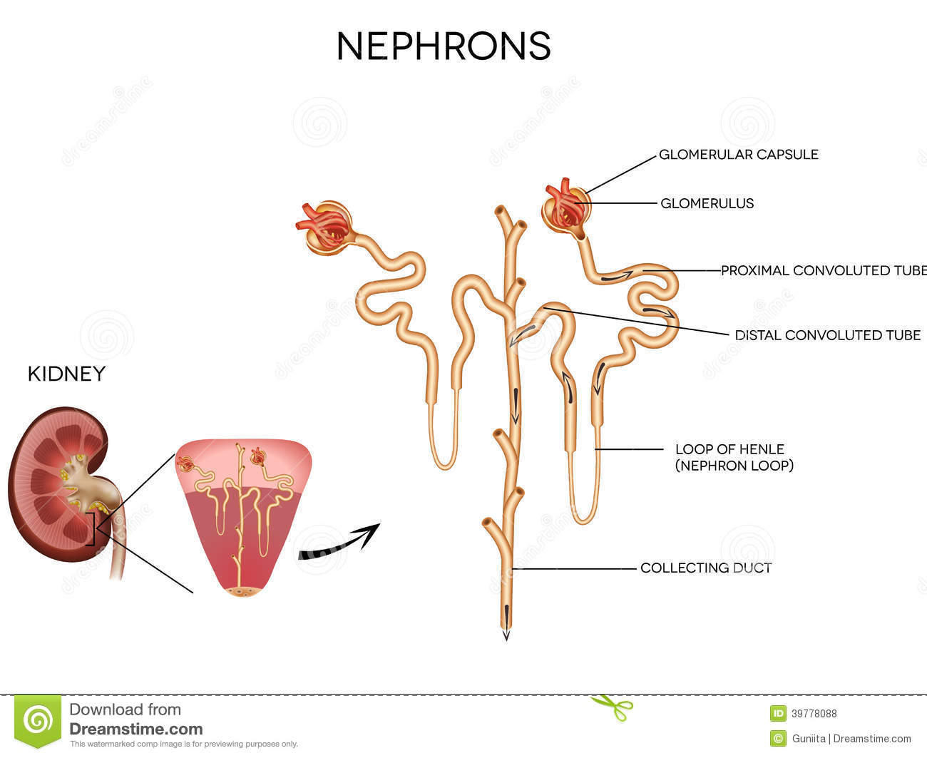 Nephron And Glomerulus Stock Vector Illustration Of Cells 39778088