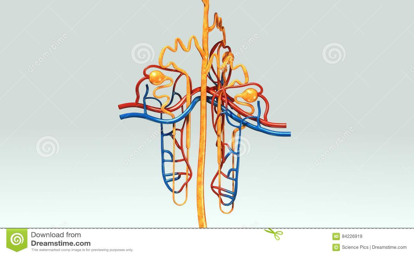 Nephron stock illustration. Illustration of diagnosis - 84226919