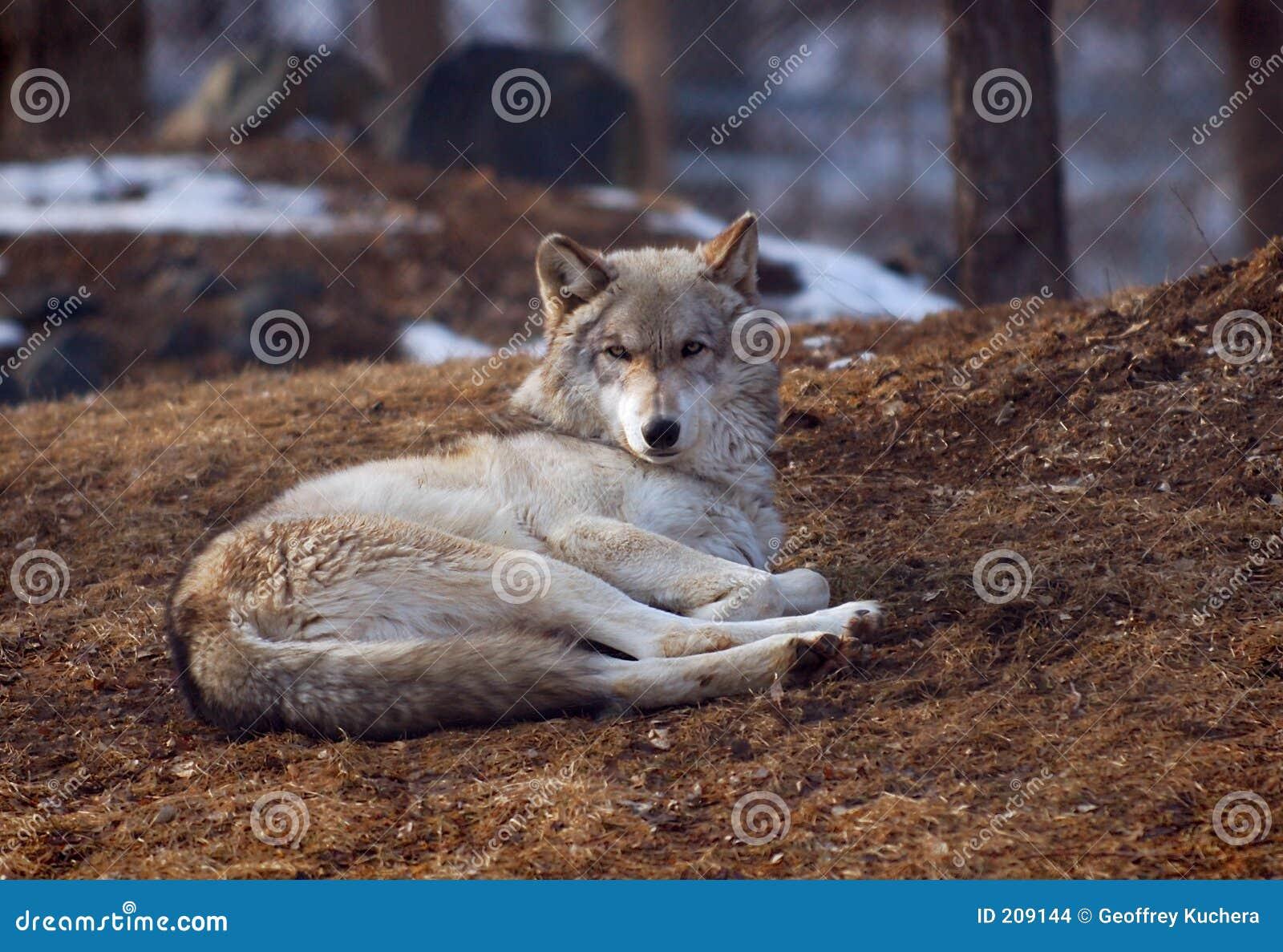 Ner liggande timmerwolf