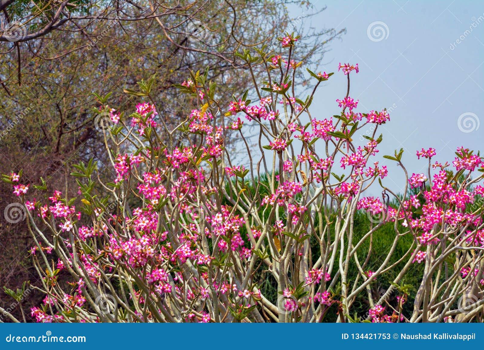 Nerium kwiat