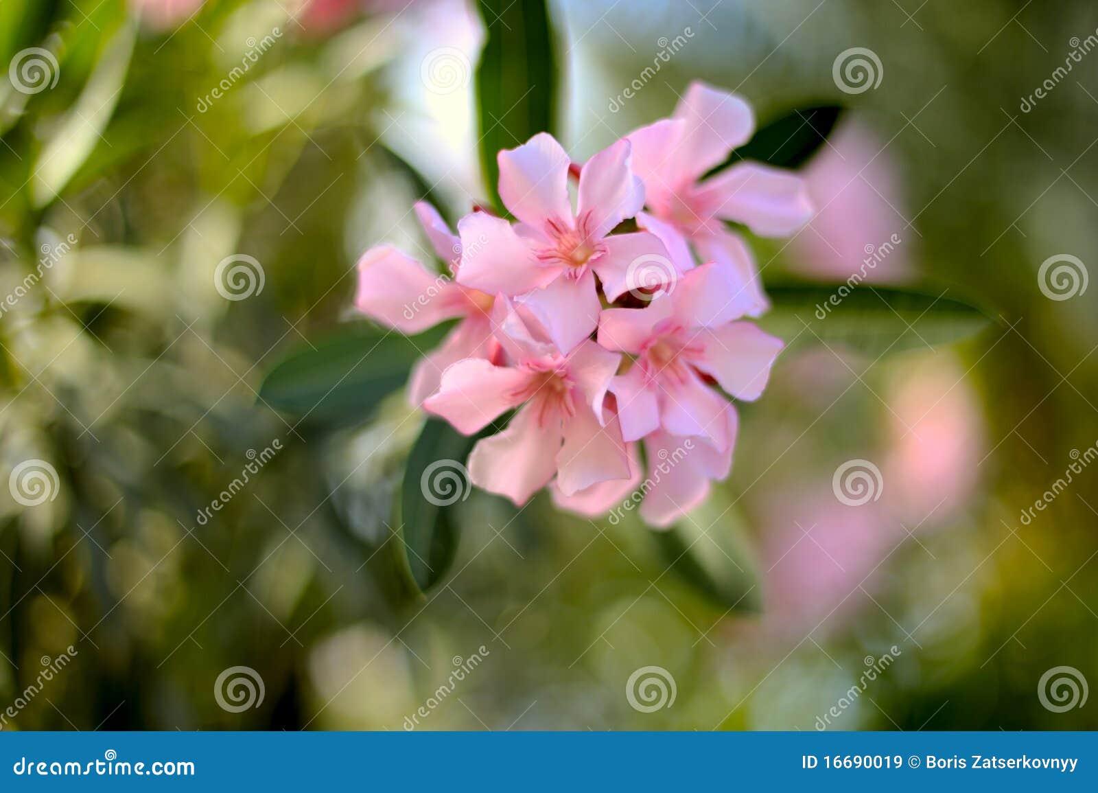 nerium oleander stock image image of beauty closeup 16690019