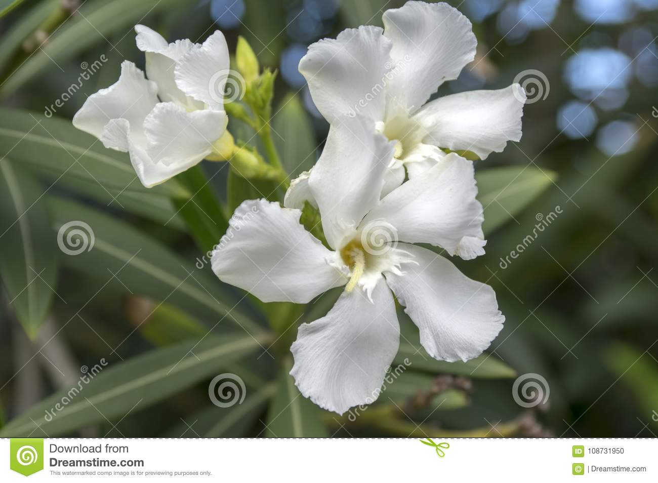 Nerium oleander in bloom white siplicity bunch of flowers and green nerium oleander in bloom white siplicity bunch of flowers and green leaves on branches mightylinksfo