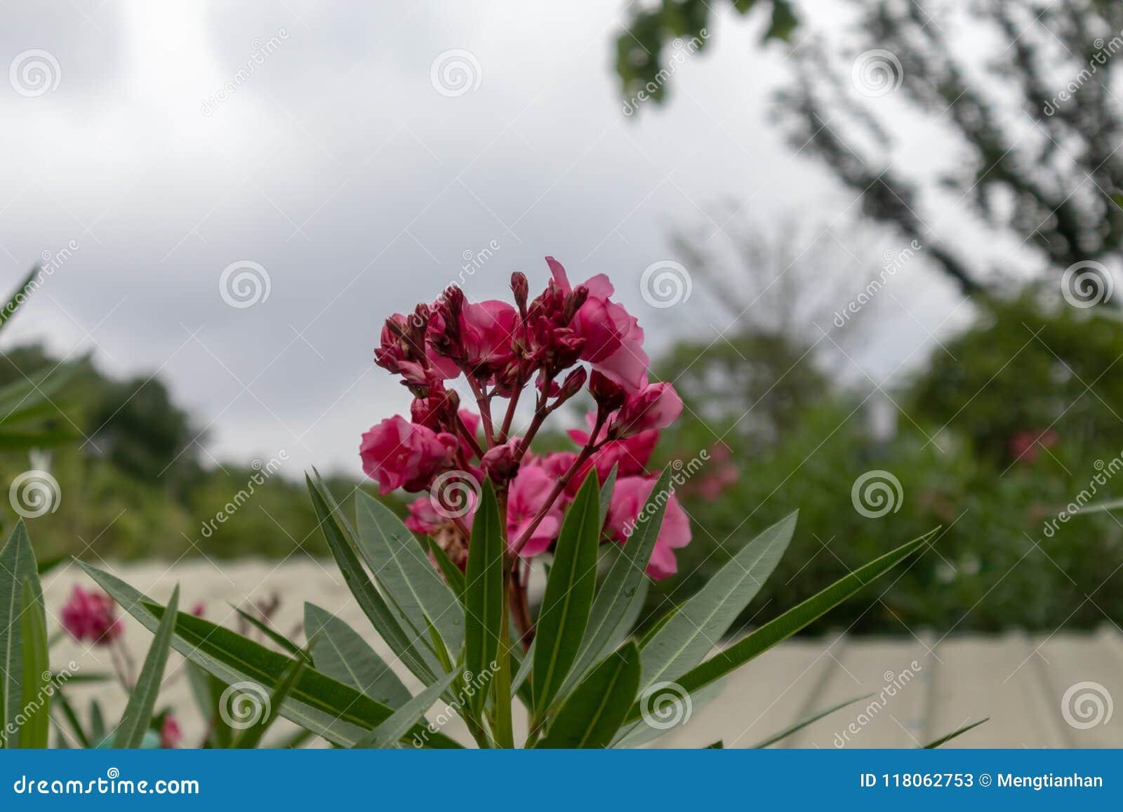 nerium oleander nerium indicum mill stock image image of deep