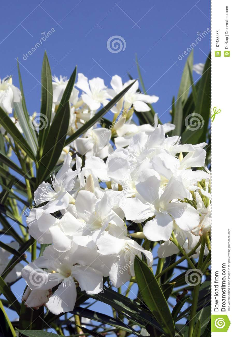 Nerium Oleander With White Flowers Stock Image Image Of Nerium