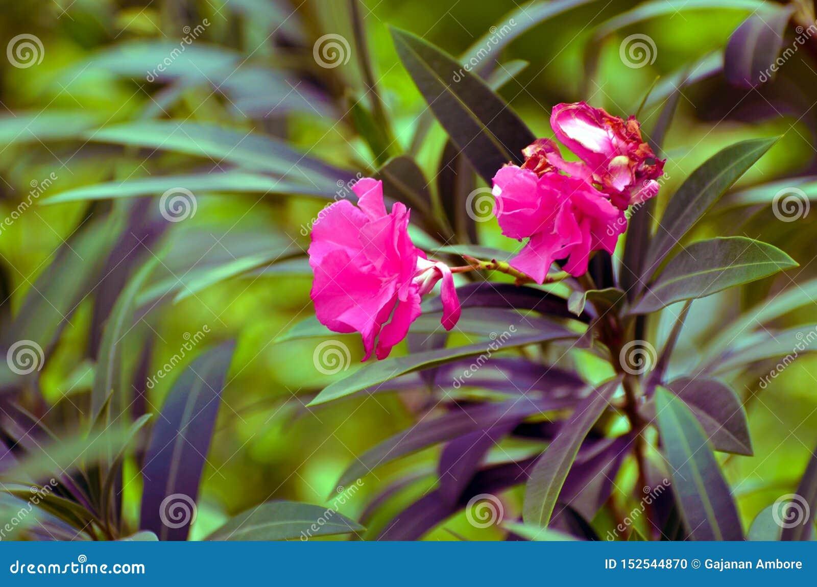 Nerium oleanderu drzewo