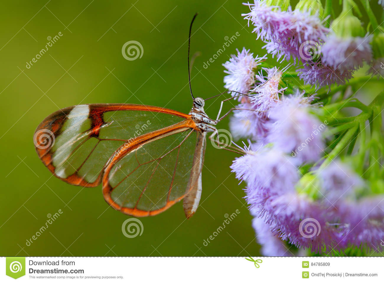 Nero Glasswing, Greta nero, Close-up of transparent glass wing butterfly on green leaves, scene from tropical forest, Belize, rest
