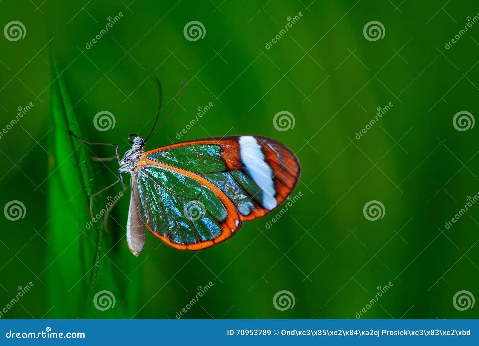 Nero Glasswing, Greta-nero, Nahaufnahme des transparenten Glasflügelschmetterlinges auf grünen Blättern, Szene vom tropischen Wal
