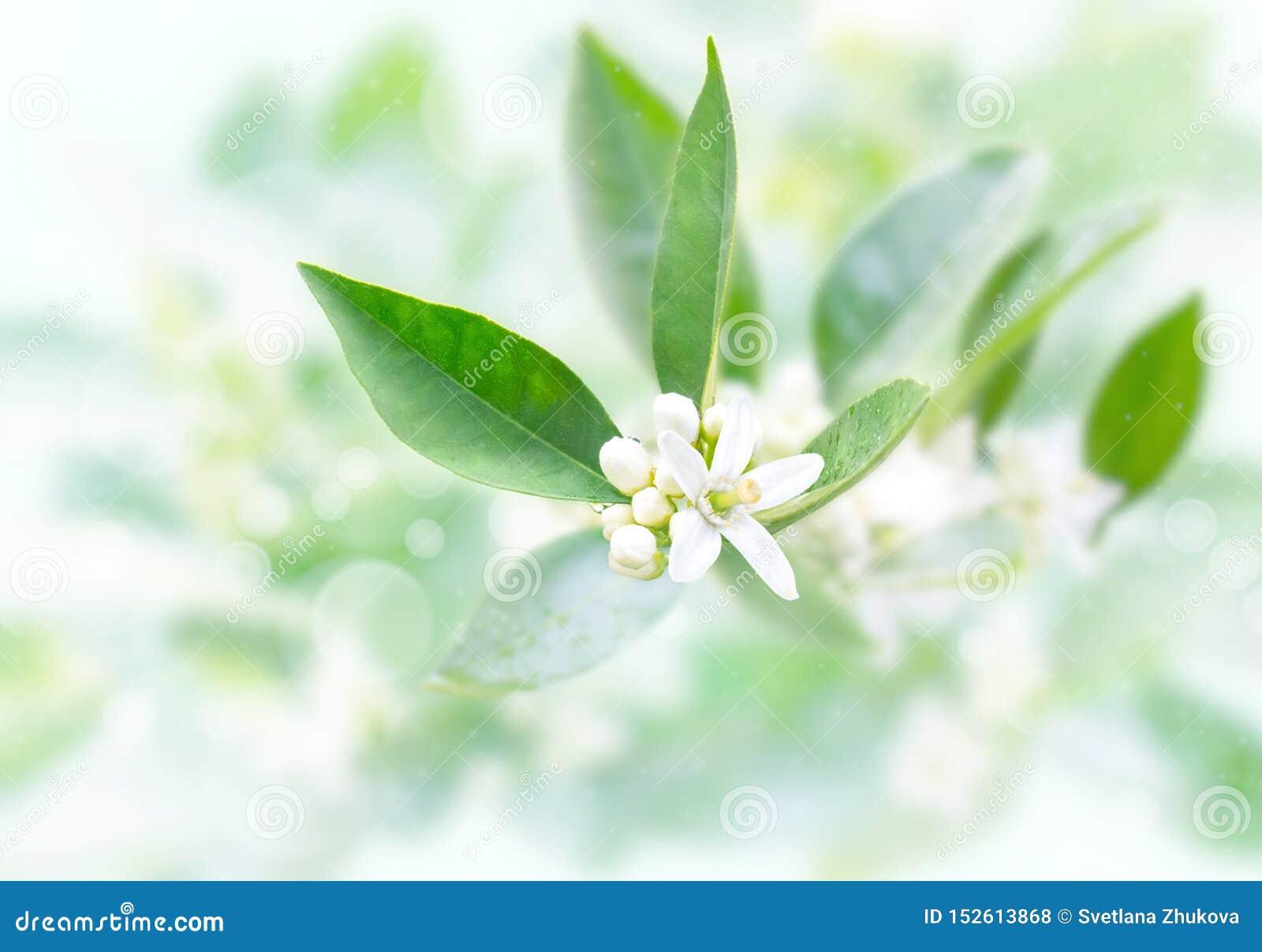 Neroli blommor och knoppar efter vårregn på den suddiga trädgårdbakgrunden Azahar blomning