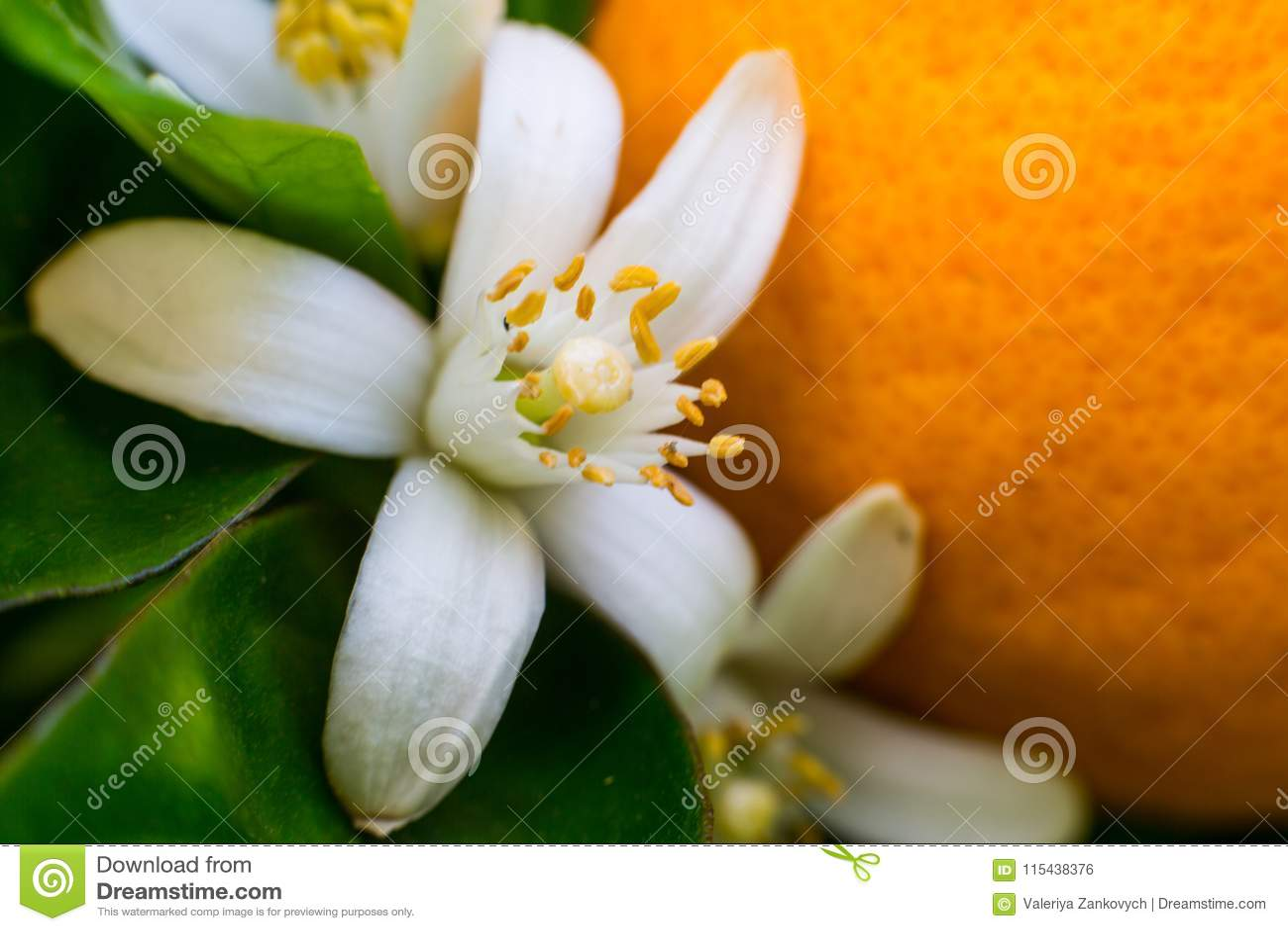 Neroli Foglie luminose verdi dell arancio e neroli arancio con le gocce di pioggia, fondo del fiore della rugiada