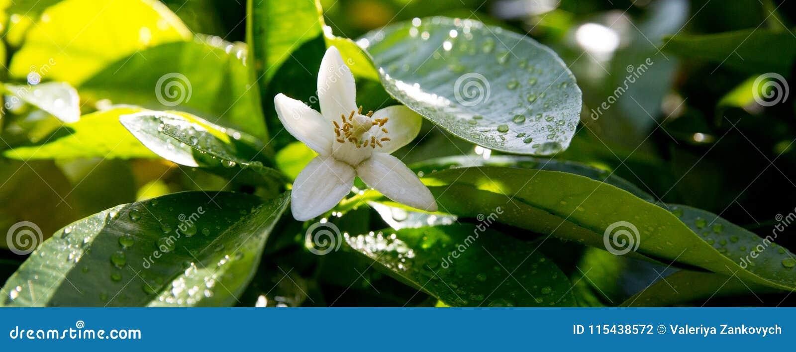 Neroli Gröna ljusa sidor för orange träd och orange blommaneroli med regndroppar, daggbakgrund