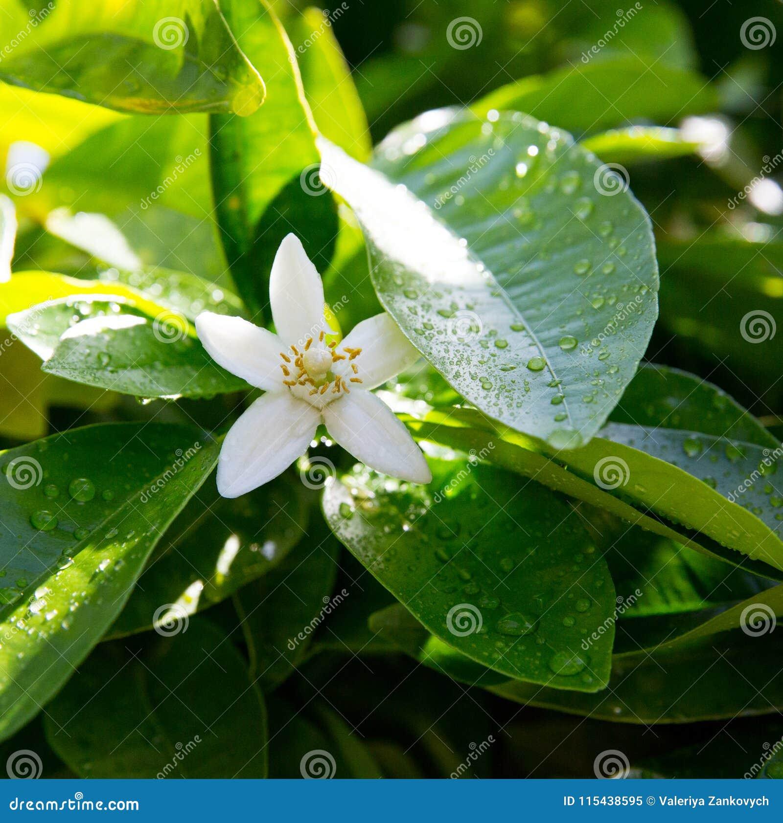 Neroli Hojas brillantes verdes y neroli anaranjado con las gotas de agua, fondo del árbol anaranjado de la flor del rocío