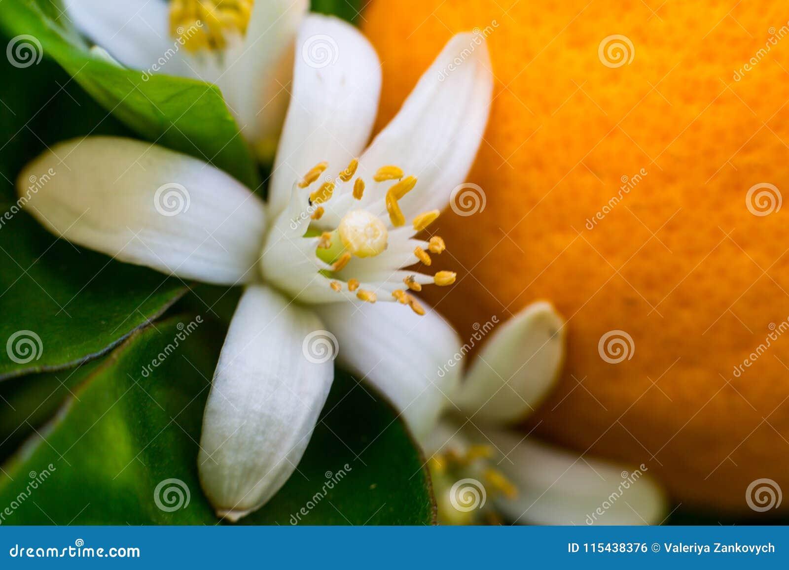 Neroli Zielony jaskrawy pomarańczowy drzewo opuszcza z raindrops i pomarańczowy kwiatu neroli rosy tło,