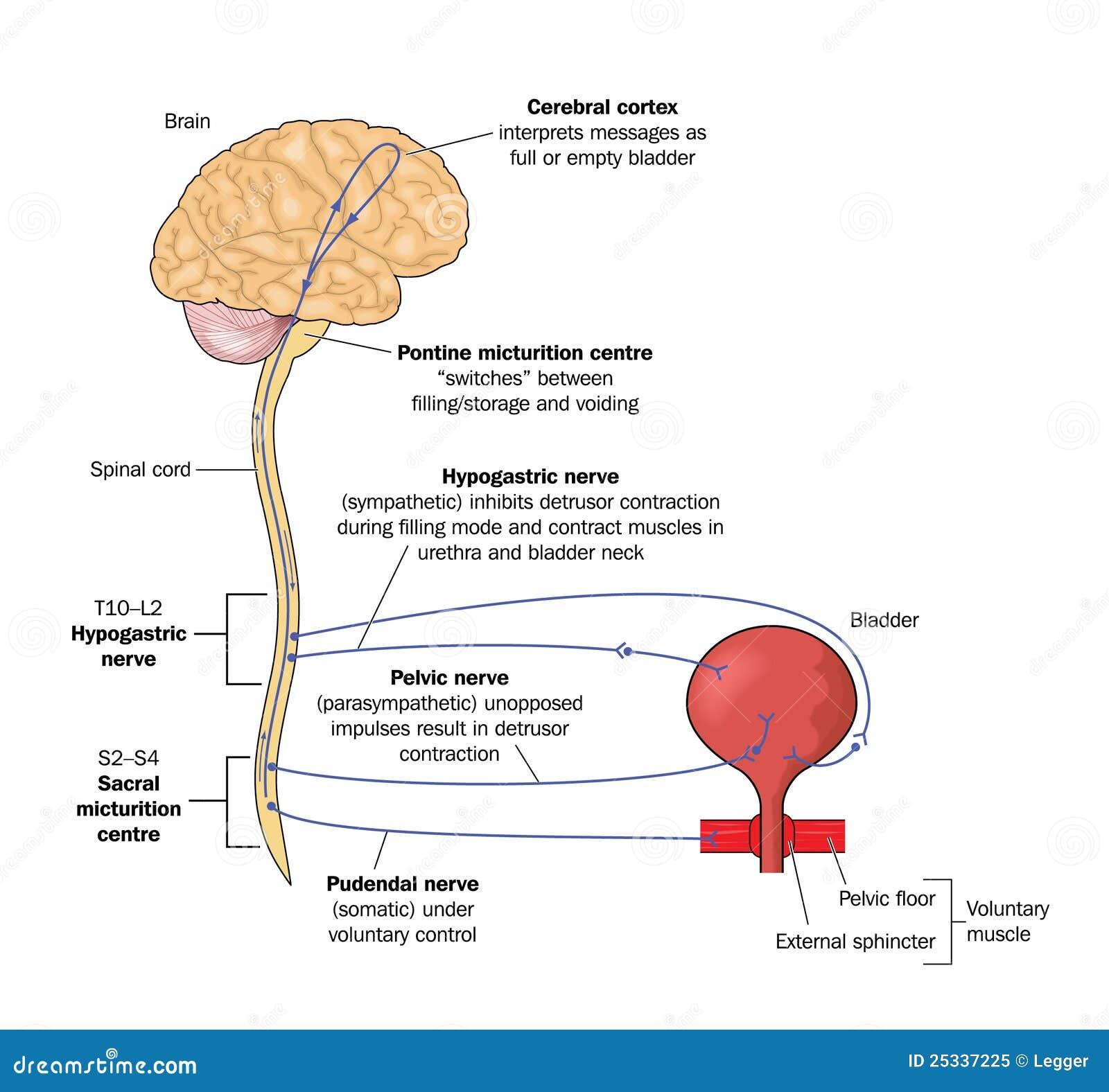 Nerve Pathways To The Bladder Stock Vector Illustration Of Nerve