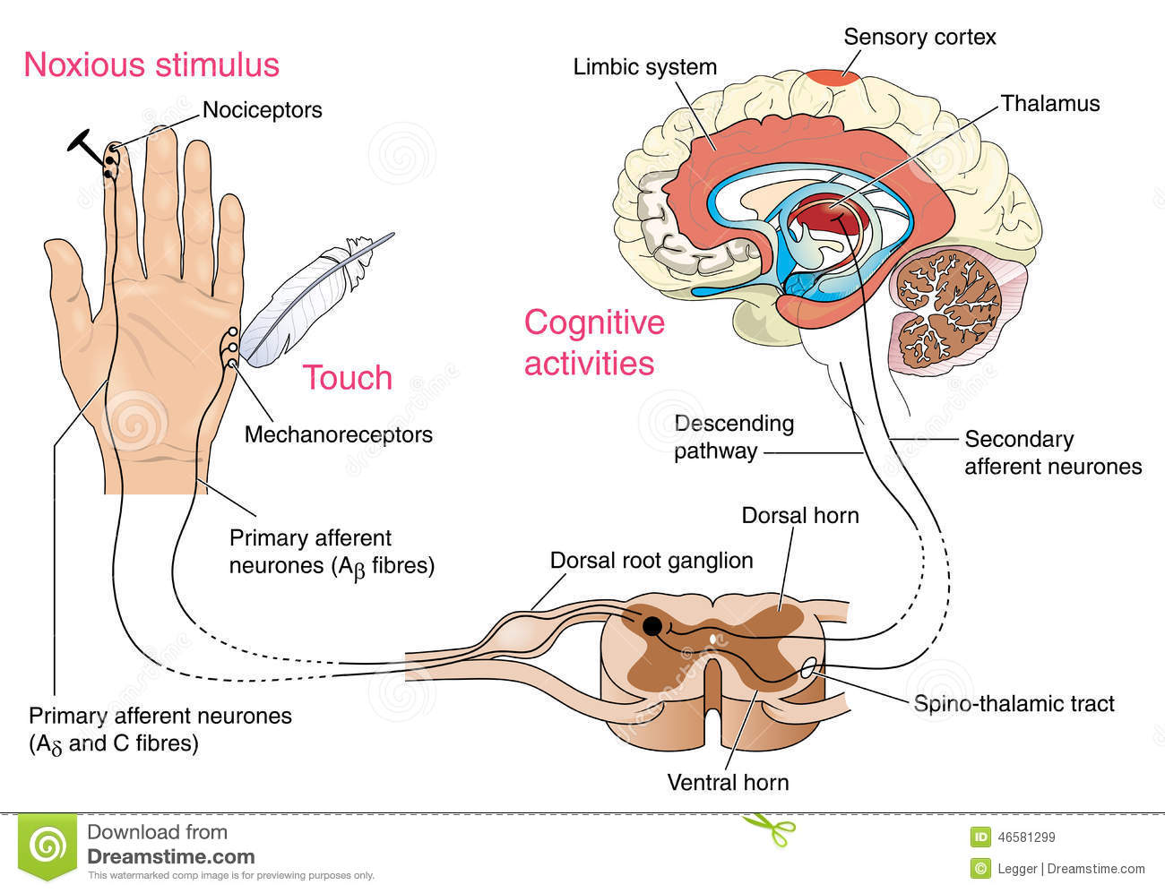 Noxious and pain receptors in skin and the nerve pathways to the brain