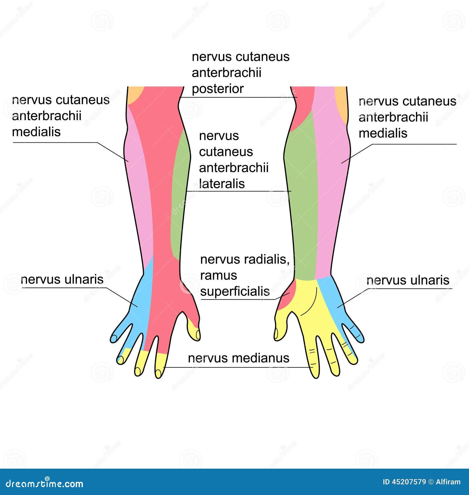 Fein Nerv In Beine Fotos - Anatomie Und Physiologie Knochen Bilder ...