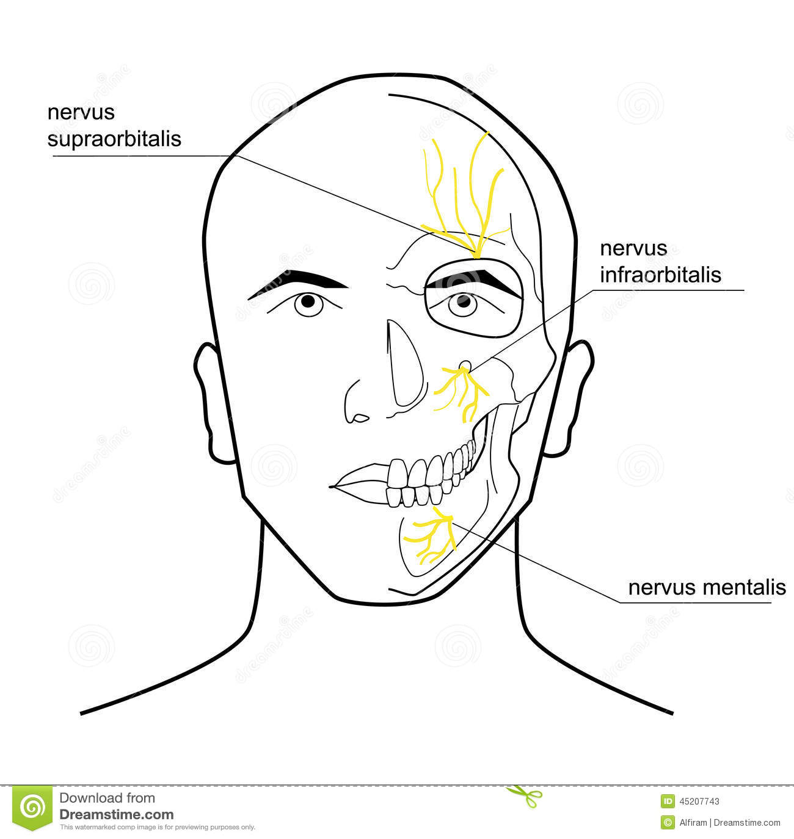 Nerven des Kopfes vektor abbildung. Illustration von medizinisch ...