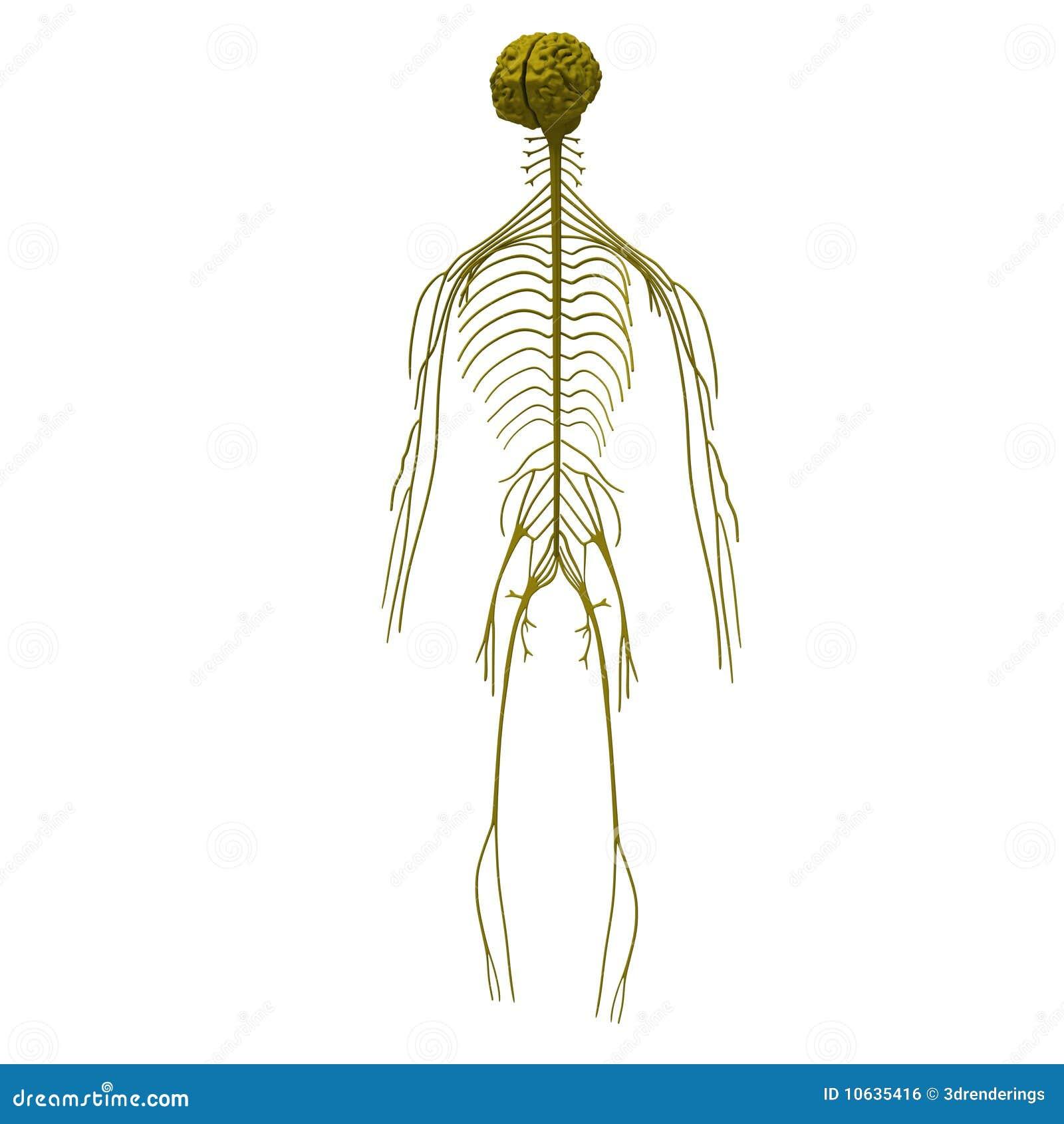 Peripheres Nervensystem Der Mensch